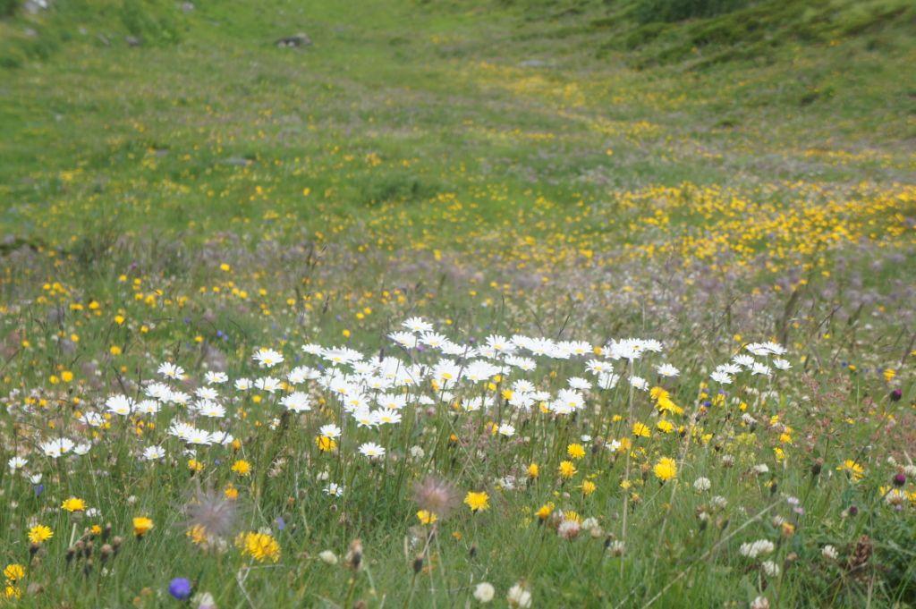 Blumenteppich auf dem Weg nach Ulrichen