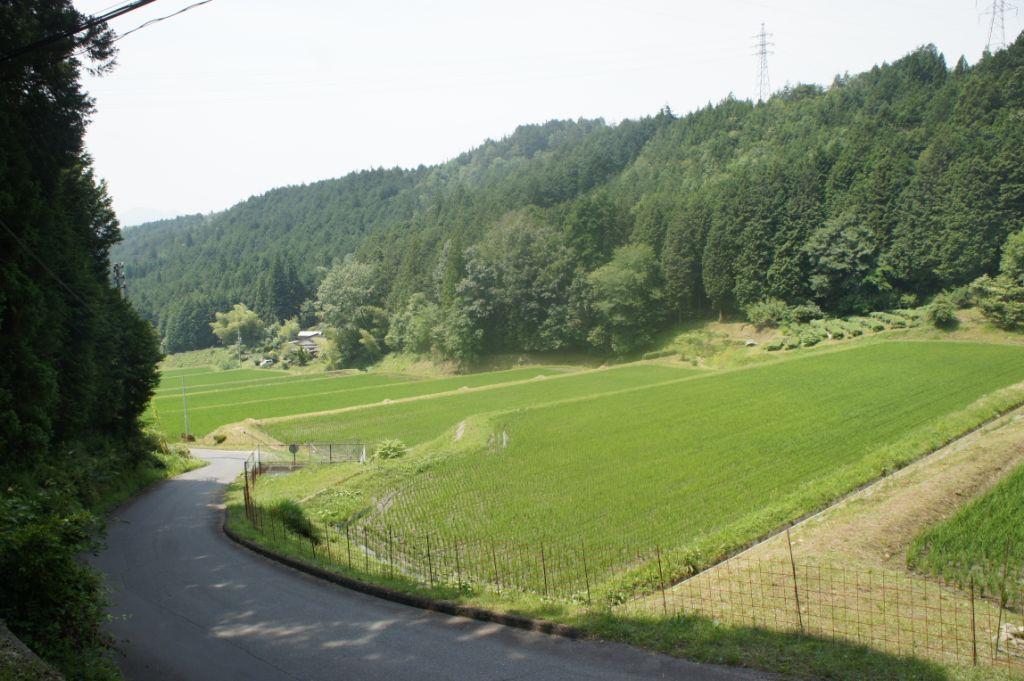 Reisfelder schmiegen sich an den Waldrand